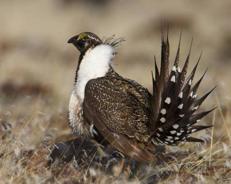 Greater Sage Grouse Photo Credit: USFWS