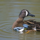 Blue-winged Teal Photo Credit: iStock