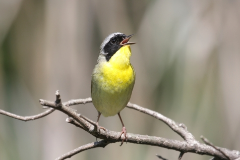 Common Yellowthroat Photo Credit: iStock