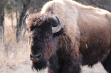 Bison in Theodore Roosevelt National Park Photo Credit: Jackie Jacobson