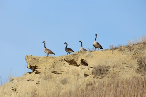 Canada Geese in Theodore Roosevelt National Park Photo Credit: Jackie Jacobson